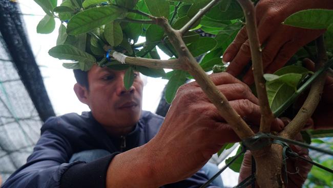 """Phật thủ bonsai giá bạc triệu có nguy cơ """"cháy hàng"""" trước Tết - 8"""