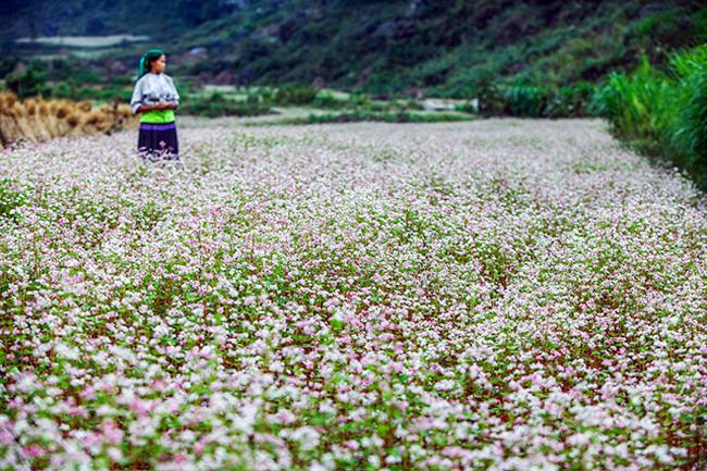 Ngỡ ngàng hoa tam giác mạch ở Hà Giang khoe sắc tại Sài Gòn - 1