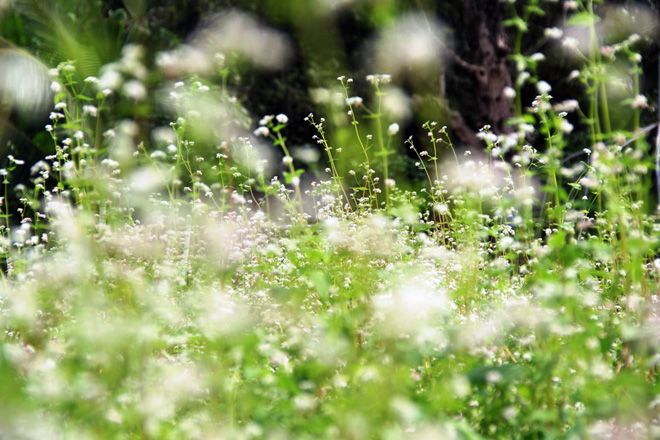Ngỡ ngàng hoa tam giác mạch ở Hà Giang khoe sắc tại Sài Gòn - 12