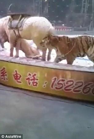 TQ: Đang diễn xiếc cùng nhau, hổ và sư tử quay ra cắn xé ngựa