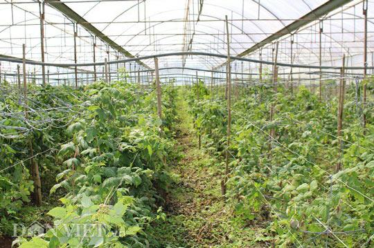 """Bỏ lương 7 triệu, về quê trồng """"siêu thực phẩm"""", thu gần 1 tỷ - 5"""