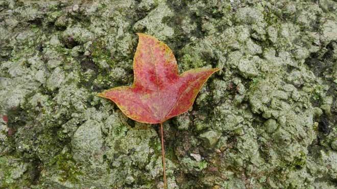 Ít người biết, ngay gần Hà Nội đã có rừng phong lá đỏ - 11