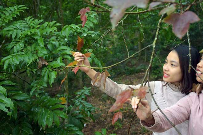 Ít người biết, ngay gần Hà Nội đã có rừng phong lá đỏ - 14