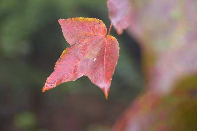 Ít người biết, ngay gần Hà Nội đã có rừng phong lá đỏ - 4