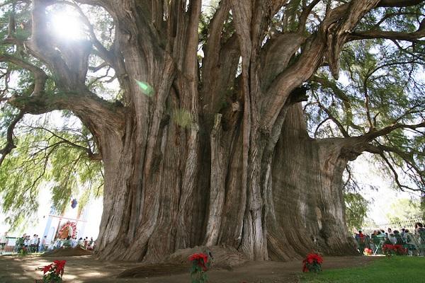 Kỳ lạ những điểm du lịch hút khách đến thăm chỉ vì… 1 cái cây