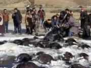 """Thế giới - Hơn 100 bò Tây Tạng chết """"bất đắc kỳ tử"""" vì giá rét ở TQ"""