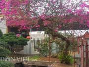 """Thị trường - Tiêu dùng - Cây hoa giấy cổ thụ dáng """"lão mai"""" có một không hai ở Nam Định"""
