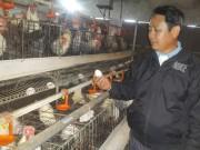 Thị trường - Tiêu dùng - Làm giàu ở nông thôn: Nuôi gà siêu đẻ, mỗi năm lãi nửa tỷ đồng
