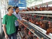 Thị trường - Tiêu dùng - Nuôi 2.000 gà siêu trứng, 10 con bò, doanh thu 1,5 tỷ/năm