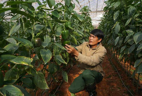 """""""Bí kíp"""" trồng ớt ngọt thu 2 triệu/ngày của nông dân Đà Lạt - 1"""
