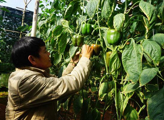 """""""Bí kíp"""" trồng ớt ngọt thu 2 triệu/ngày của nông dân Đà Lạt - 2"""