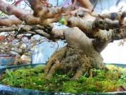 Tin tức trong ngày - Mai bonsai cổ thụ giá bạc triệu ùn ùn xuống phố tìm đại gia dịp Tết