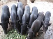 Thị trường - Tiêu dùng - Nuôi đàn lợn mán bán tết, lãi hàng trăm triệu/năm