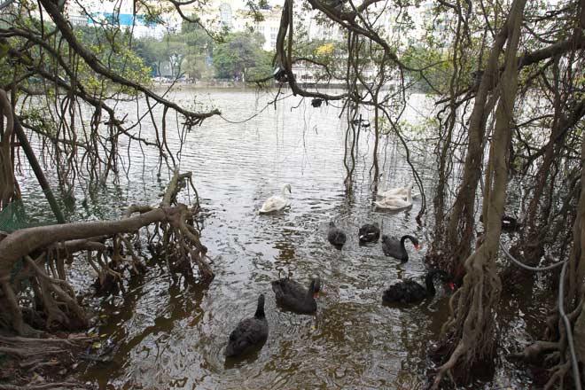 """Bất ngờ xuất hiện đàn """"chim lạ"""" giữa Hồ Gươm - 1"""