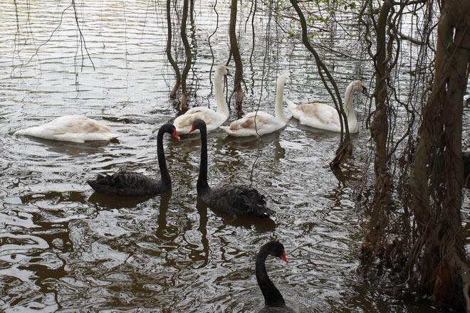 """Bất ngờ xuất hiện đàn """"chim lạ"""" giữa Hồ Gươm - 6"""