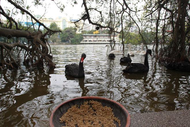 """Bất ngờ xuất hiện đàn """"chim lạ"""" giữa Hồ Gươm - 5"""