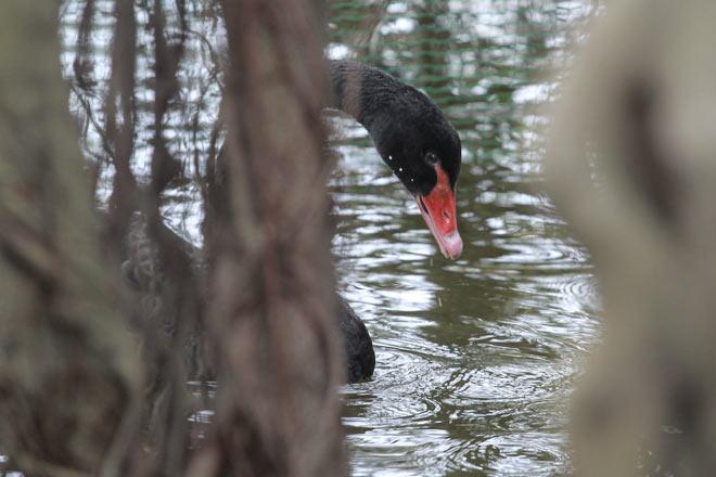 """Bất ngờ xuất hiện đàn """"chim lạ"""" giữa Hồ Gươm - 4"""