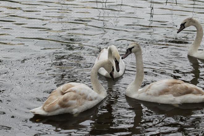 """Bất ngờ xuất hiện đàn """"chim lạ"""" giữa Hồ Gươm - 9"""