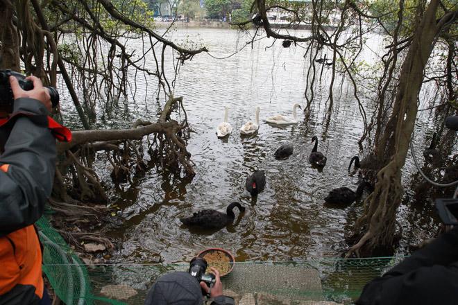 """Bất ngờ xuất hiện đàn """"chim lạ"""" giữa Hồ Gươm - 8"""