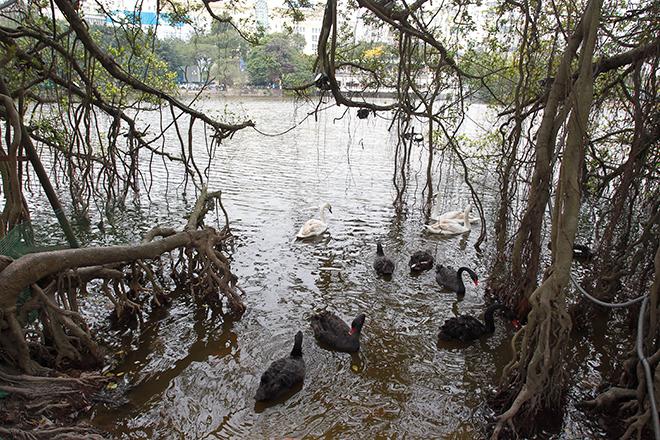 Thiên nga vừa thả ở Hồ Gươm đã lo bị bắt trộm - 1