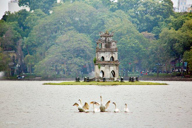 Thiên nga vừa thả ở Hồ Gươm đã lo bị bắt trộm - 3