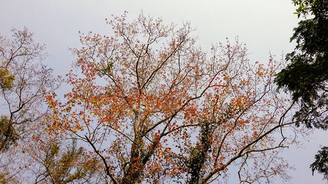 Trốn giá lạnh về Hải Dương ngắm rừng phong lá đỏ ấm rực cả bầu trời - 1