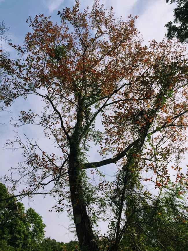 Trốn giá lạnh về Hải Dương ngắm rừng phong lá đỏ ấm rực cả bầu trời - 6
