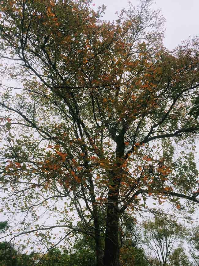 Trốn giá lạnh về Hải Dương ngắm rừng phong lá đỏ ấm rực cả bầu trời - 5