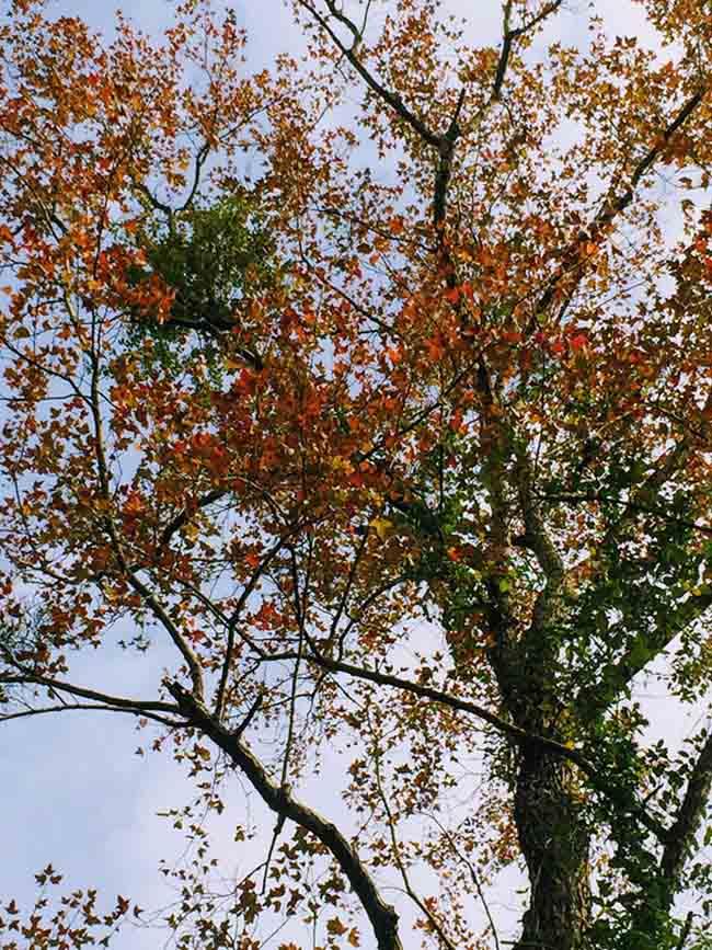 Trốn giá lạnh về Hải Dương ngắm rừng phong lá đỏ ấm rực cả bầu trời - 10