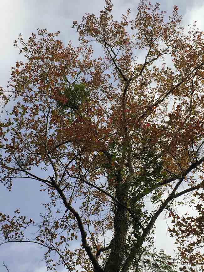 Trốn giá lạnh về Hải Dương ngắm rừng phong lá đỏ ấm rực cả bầu trời - 11