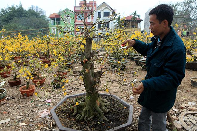 Mai vàng cổ thụ hơn 100 triệu chơi Tết ở Hà Nội