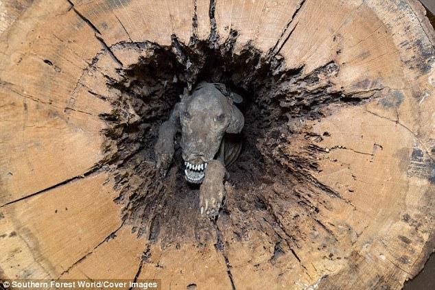 Chó hóa xác ướp trong thân cây hoàn hảo ở Mỹ