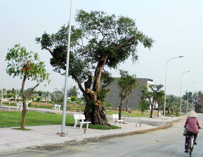 """Cụ cây báu vật ở Sài Gòn bỗng """"bật gốc bay đi"""" giờ ra sao? - 1"""