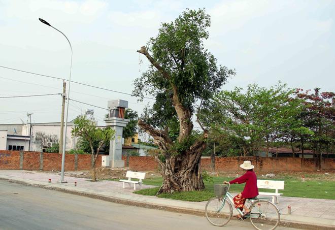 """Cụ cây báu vật ở Sài Gòn bỗng """"bật gốc bay đi"""" giờ ra sao? - 7"""