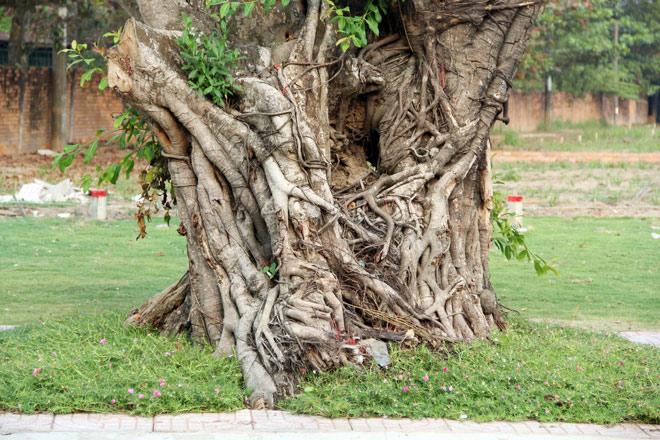 """Cụ cây báu vật ở Sài Gòn bỗng """"bật gốc bay đi"""" giờ ra sao? - 11"""
