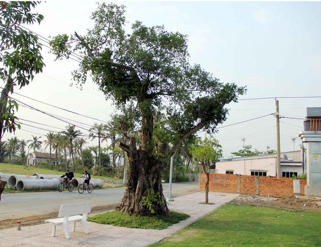 """Cụ cây báu vật ở Sài Gòn bỗng """"bật gốc bay đi"""" giờ ra sao? - 6"""
