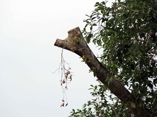 """Cụ cây báu vật ở Sài Gòn bỗng """"bật gốc bay đi"""" giờ ra sao? - 8"""