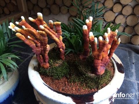 Hàng độc chơi Tết: Nấm linh chi bonsai sừng hươu đỏ - 4