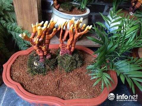 Hàng độc chơi Tết: Nấm linh chi bonsai sừng hươu đỏ - 5