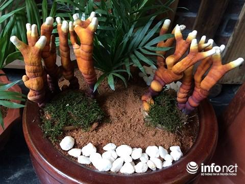 Hàng độc chơi Tết: Nấm linh chi bonsai sừng hươu đỏ - 6