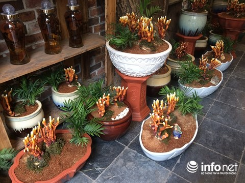 Hàng độc chơi Tết: Nấm linh chi bonsai sừng hươu đỏ - 8