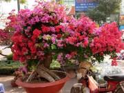 """Thị trường - Tiêu dùng - Mãn nhãn hoa giấy Mỹ dáng """"quái vật"""" giá 40 triệu/cây đổ bộ Sài Gòn"""