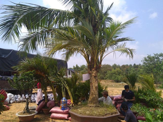 Chiêm ngưỡng cây khế hình chó, dừa 15 ngọn giá nửa tỉ ở Phú Quốc - 1