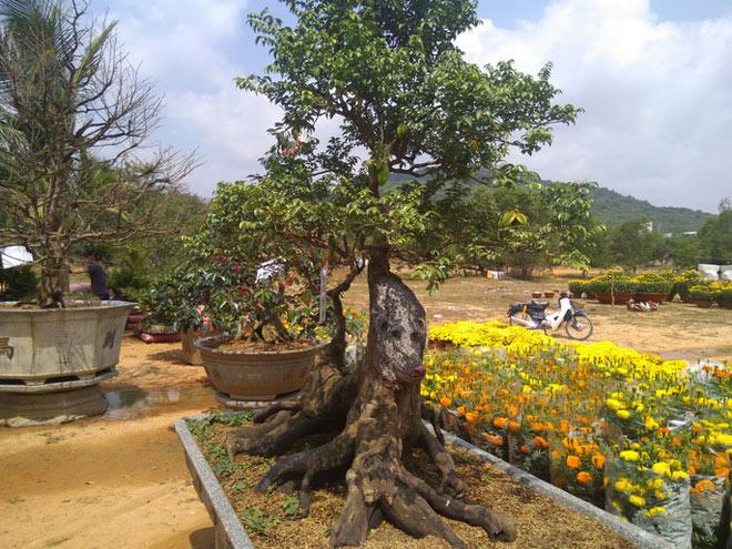Chiêm ngưỡng cây khế hình chó, dừa 15 ngọn giá nửa tỉ ở Phú Quốc - 2