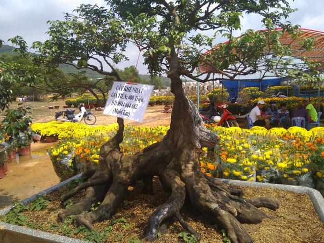 Chiêm ngưỡng cây khế hình chó, dừa 15 ngọn giá nửa tỉ ở Phú Quốc - 3