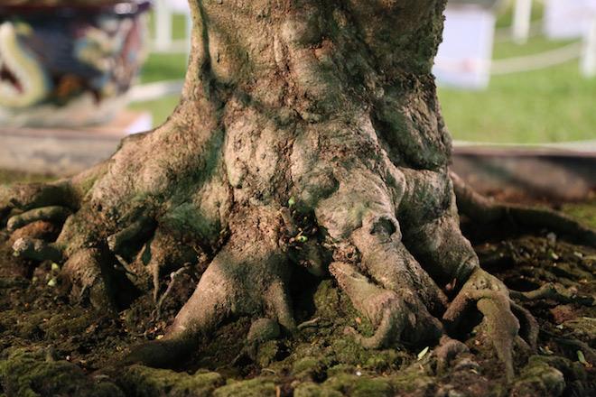 """Chiêm ngưỡng gốc mai 3 tỉ đồng với bộ rễ """"tay phù thủy"""" - 3"""