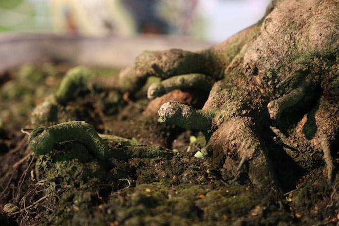 """Chiêm ngưỡng gốc mai 3 tỉ đồng với bộ rễ """"tay phù thủy"""" - 5"""