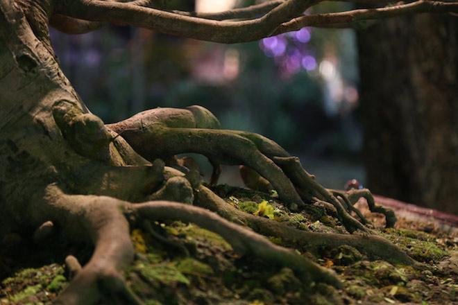 """Chiêm ngưỡng gốc mai 3 tỉ đồng với bộ rễ """"tay phù thủy"""" - 10"""