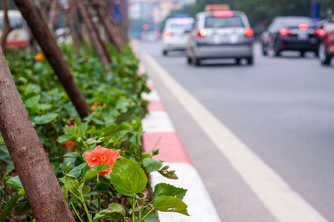 Hàng cây phong lá đỏ nảy lộc đón Tết giữa đường phố Thủ đô - 9