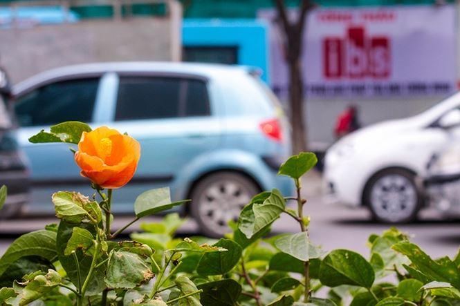 Hàng cây phong lá đỏ nảy lộc đón Tết giữa đường phố Thủ đô - 10